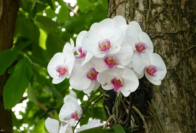 Phalaenopsis trên cây