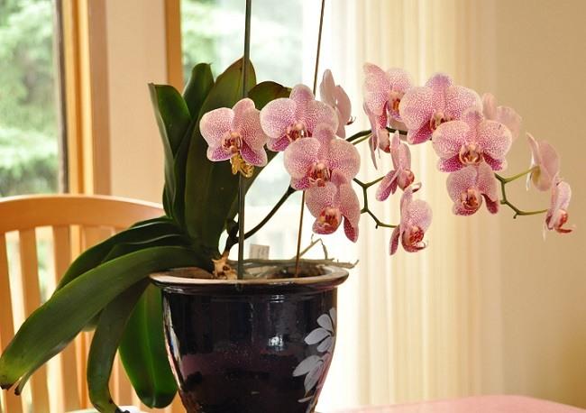 Phalaenopsis trong Gord.