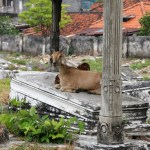goat-sitting-in-cemetery-surabaya-indonesia_800