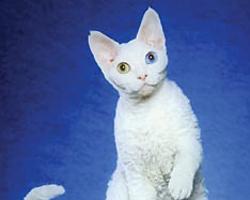 Голубой цвет глаз, производный от жёлтого