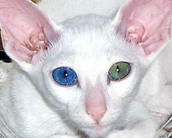 Синий цвет глаз кошки, производный от зеленого