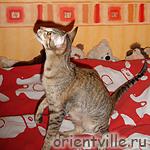 Ориентальная кошка, черепаховая пятнистая, Бекки