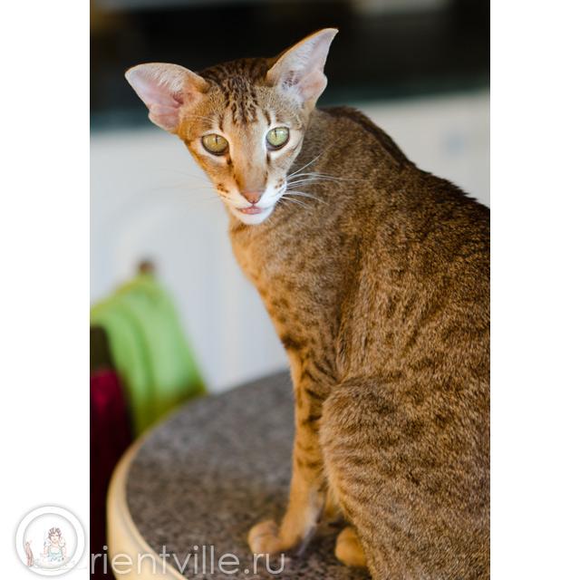 Ориентальная кошка Фиона