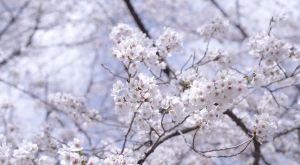 『桜』の付く季語 一覧 – 季節の美しい言葉