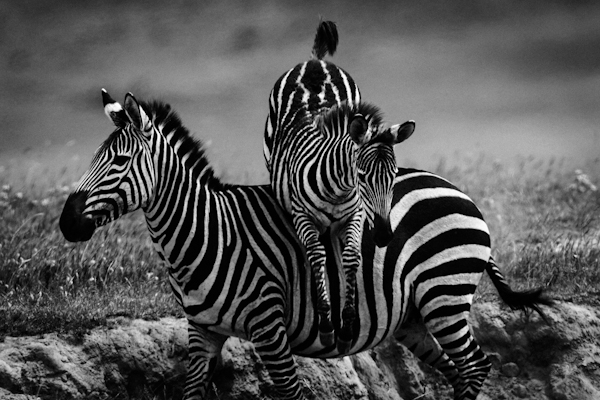 3218-Zebra jump, Tanzania 2007 © Laurent Baheux