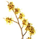 Witch hazel - detox hair naturally at curly hair salon.