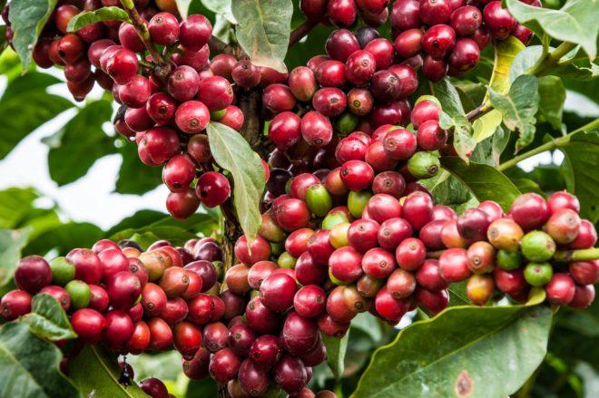 Cherries - Ruiri 11