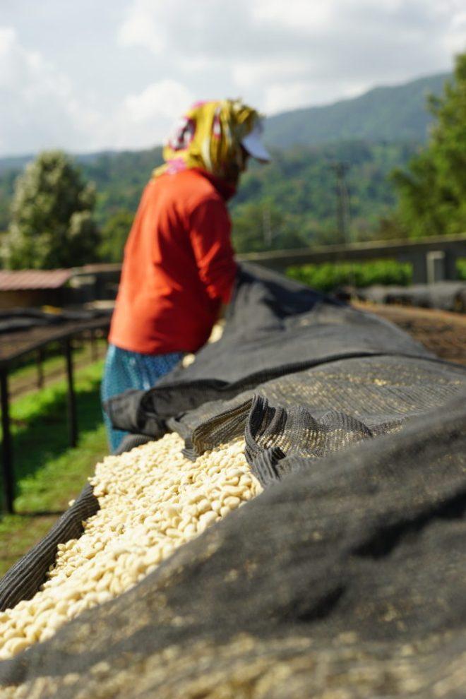 Drying Coffee in Tanzania