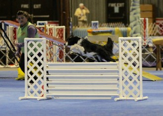 Nikko and Club member Chelsea Singer earned their Novice FAST and Novice JWW titles at Oriole's Jan 2015 AKC agility trial !