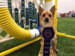 Vinnie Bessenhoffer played agility at the Oriole/Artful Dodgers March 2015 CPE trial and got a perfect weekend. 10 q's out of 10. Way to go Vinnie B !