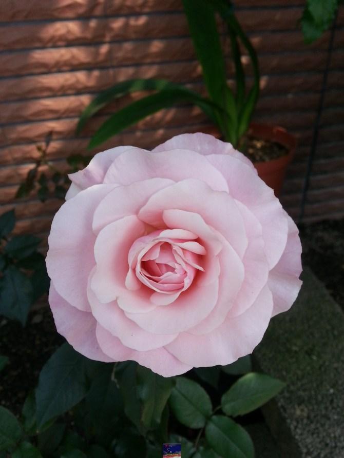 搶鏡頭的玫瑰