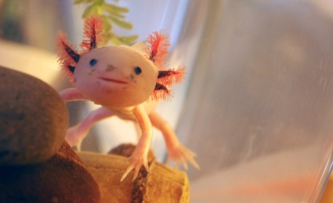 O Axolotl é uma espécie de salamandra mexicana que não se desenvolve. O nome é de origem asteca e significa monstro aquático.