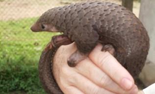 O Pangolim é um mamífero com aspecto de réptil que vive nas zonas tropicais da Ásia e da África. Ele se transforma em uma bola sempre que se sente ameaçado por algum predador.