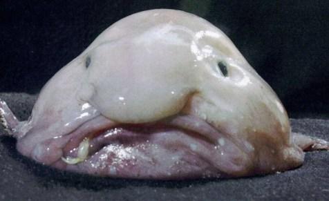 O Blobfish é um peixe raramente encontrado vivo. Ele vive nas águas profundas do mar da Austrália e da Tasmânia. Sua consistência é gelatinosa e ele tem densidade levemente menor do que a da água.