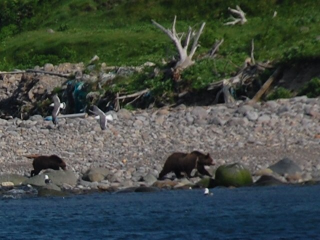 Bears in Shiretoko