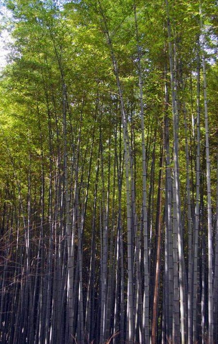 La foresta di bambù di Arashiyama, Kyoto