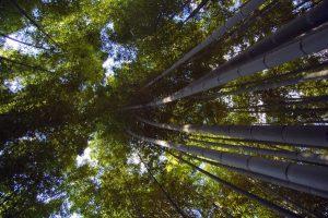La foresta di bambù di Arashiyama