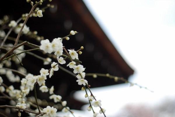 Fiori di albicocco al Tenryu-ji