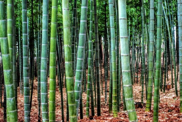 Mito, Kairakuen: the bamboo grove