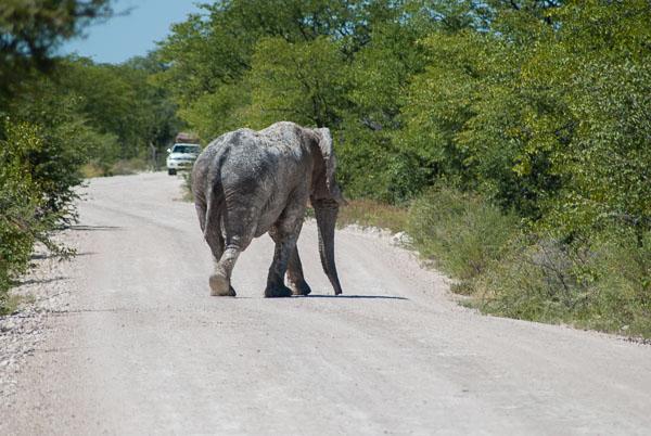 attraversamento elefanti, Etosha national park, Namibia
