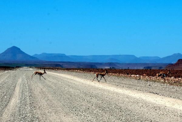 Namibia in auto: Springbocks attraversano la strada