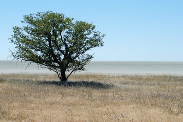Un albero solitario sul limitare dell'Etosha Pan