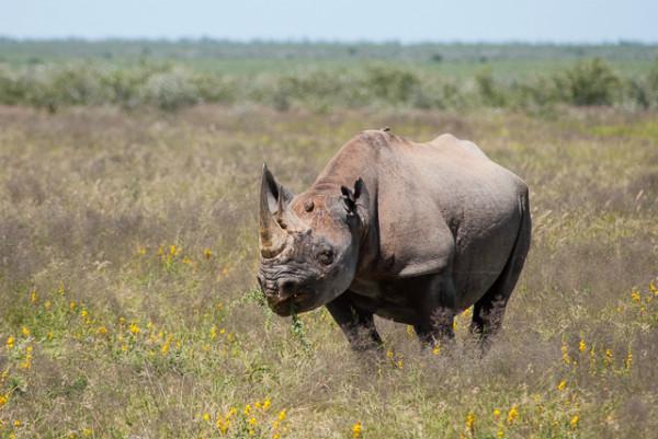 Vedere gli animali nell'Etosha: un rinoceronte nero