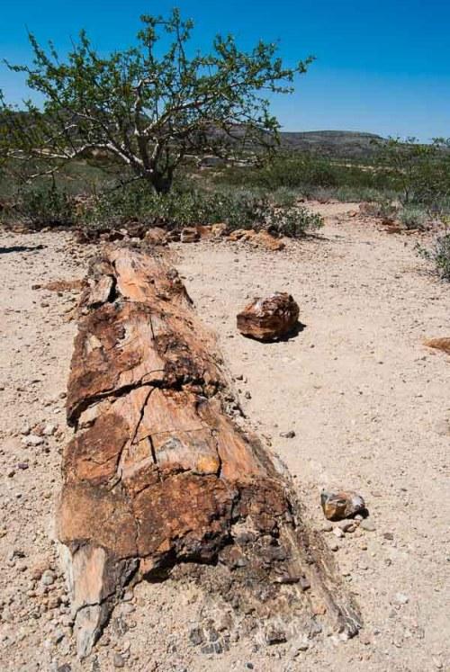 Un albero della foresta pietrificata di Khorixas