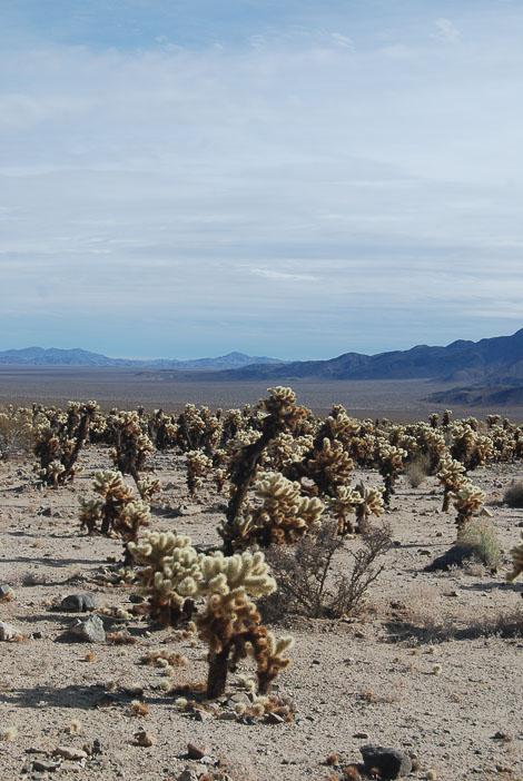 Visitare il Joshua Tree: il Cholla Cactus Garden