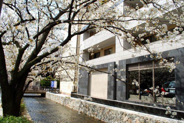 Sakura a Kiyamachi, Kyoto