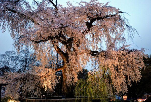 Il grande ciliegio (shidarezakura) del parco Maruyama di Kyoto