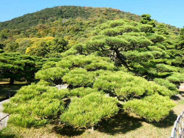 Ritsurin: il pino tsurukame-matsu
