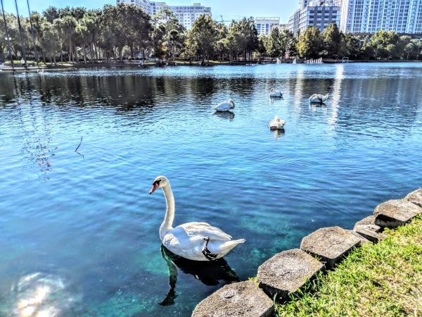 Where to walk in Orlando: image of residents swans at Lake Eola park in downtown Orlando