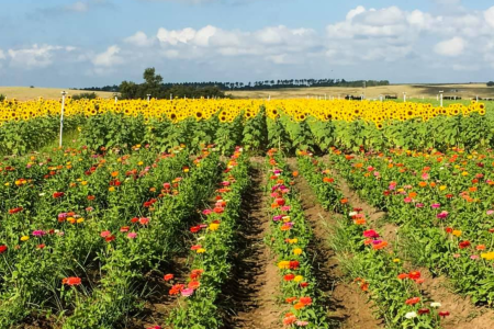Orlando sunflowers: image of rows of sunflowers and zinnias at Southern Hill Farm in Clermont, Florida