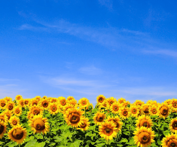 Things to do this weekend in Orlando: image of a sunflower field at Southern Hill Farms in Clermont. The local farm is offering u-pick sunflowers and strawberry picking this weekend.