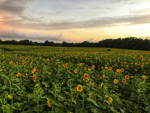 Sunflower fields Orlando: image of Cannon Farms sunflower fields at sunset