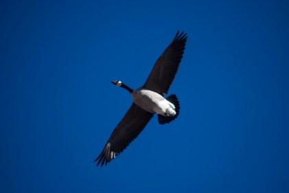 Goose mid flight