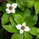 Bunchberry | Cornus canadensis | bunchberry flower essence | Dr. Orna Izakson | flower essence therapy | what are flower essences | wellness consultant