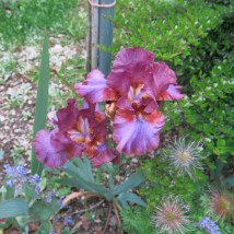 Irisblüte Laafeld 011