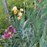 Irisblüte Laafeld 017