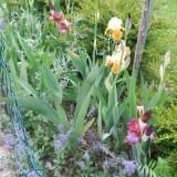 Irisblüte Laafeld 019