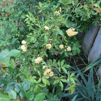 Irisblüte Laafeld 022