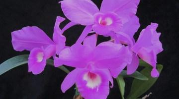 Cattleya skinneri oGuarianthe skinneri