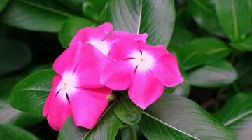 Chavelita Vinca Planta Flor