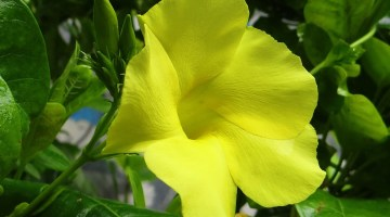 Planta copa de oro, Allamanda cathartica