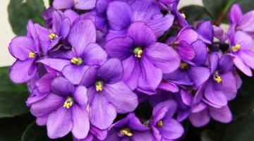Cuidados de la Violeta Africana y otras plantas relacionadas
