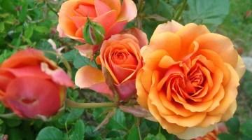 Cultivo de rosas en jardín y macetas
