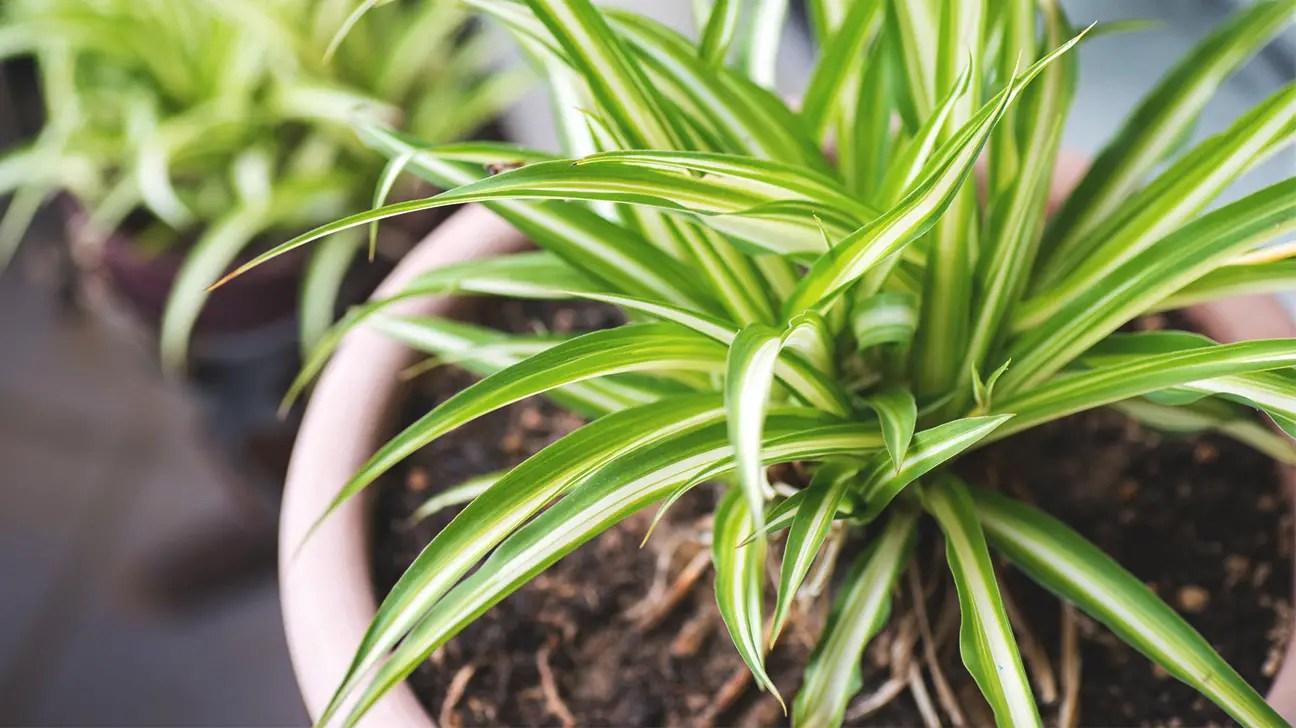 Plantas de interior que limpian y purifican el aire de tu - Plantas de interior que purifican el aire ...