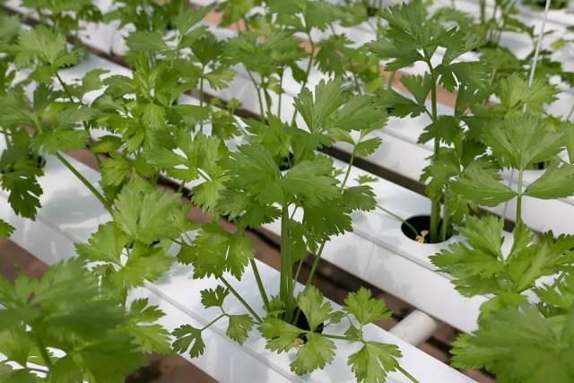 verduras hidroponicas