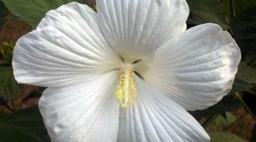 Tulipán Mexicano Blanco